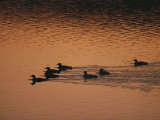 A Group of Common Loons Swims Across a Lake Early in the Morning