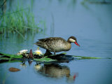 A Red-Billed Teal  Also Called Red-Billed Pintail  Forages in a Pool