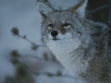 A Portrait of a Coyote in Yellowstone National Park  Wyoming