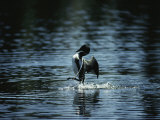 A Loon Appears to Be Shaking Water from its Plumage