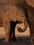 A Young Elephant Nestles up to the Mud-Covered Leg of an Adult