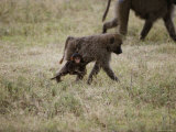 A Juvenile Baboon Clings to its Mother as They Travel Across the Savanna