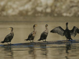 A Group of Double-Crested Cormorants Sun Themselves on a Log