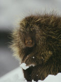 Close View of a Porcupine in the Snow