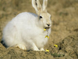 Arctic Hare Eating Arctic Poppies Near Eureka