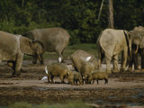 African Forest Elephants and Wild Boars in a Clearing