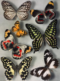Butterflies of India and Australia