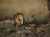 A Male Lion and Two Cubs Eat a Zebra Kill