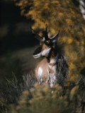 Portrait of a Pronghorn