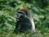 A Portrait of a Lowland Gorilla Appearing to Look Surprised