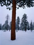 Ponderosa Pine in Snow