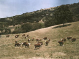 Hereford Cattle Near Pleasanton  California