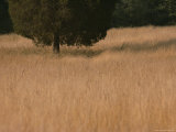 A Lone Tree Stands in a Golden Grassy Field