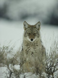 Portrait of a Coyote Sitting in the Snow