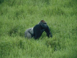 A Lowland Gorilla Walks Through the Forest