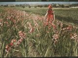 Cultivated Gladiolus in Santa Cruz  California