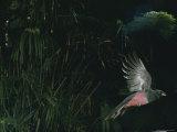 A Female Slaty-Tailed Trogon