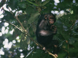 A Chimpanzee Climbing a Tree