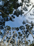 View Looking Upward of Treetops