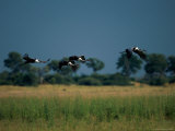 Marabou Storks in Flight