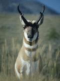 Close Portrait of a Pronghorn