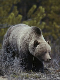 Close View of a Grizzly Scanning the Ground as He Feeds on Roots