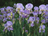 Bed of Irises  Provence Region  France