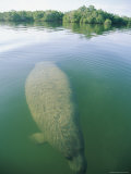 A Manatee Swims Underwater