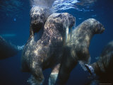 Atlantic Walruses Swim Underwater