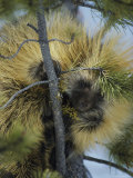 Close View of a Porcupine Feeding on Mistletoe in a Tree