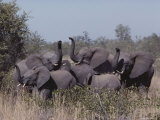 Young Female African Elephants on Alert  Their Trunks Raised to Smell