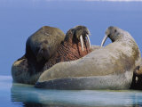 A Large Atlantic Walrus Calf Still Finds Comfort and Safety on its Mothers Back