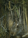 A White-Tailed Jackrabbit Hides in the Grass