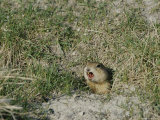 A Prairie Dog Pokes its Head out of a Burrow Entrance