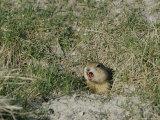 A Prairie Dog Pokes its Head out of a Burrow Entrance