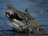 Crocodile Eating a Giant Perch