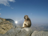 A Gelada Sits Upon a High Promontory Near a Photographers Flash