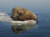 A Female Atlantic Walrus and Infant Rest on an Ice Floe