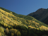 A View of Quaking Aspen Trees Displaying Fall Colors