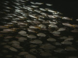 A School of Snappers Create a Silvery Flash in Dark Water