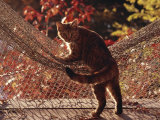 Tabby Cat Caught Climbing on a Net Hammock