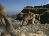 A Male Gelada  Theropithecus Gelada  Watches a Female with Infant