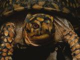 A Close View of an Eastern Box Turtle  Terrapene Carolina