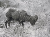 A Bighorn Sheep Ewe Feeds in Upper South Fork  Wyoming