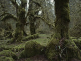 Moss-Covered Trees in the Hoh River Valleys Temperate Rain Forest