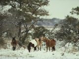 Chincoteague Ponies Forage for Food in the Snowy Assateague Landscape