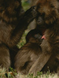A Gelada Baboon Grooms a Female Who is Busy Suckling Her Youngster