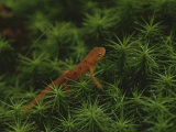 A Red-Spotted Newt  Notophthalmus Viridescens  Crosses a Mossy Patch