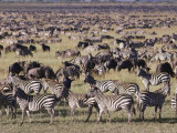 Zebra and Wildebeest Herds  Serengeti Plains  Tanzania