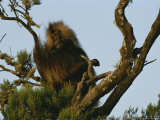 A Male Gelada on a Tree Top Perch